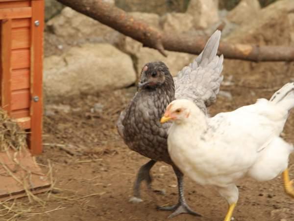 petites poules dans le poulailler de la miniferme